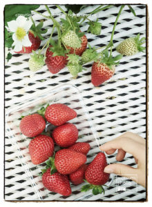 イチゴの収穫体験